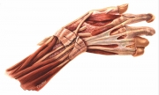Wrist Dissection